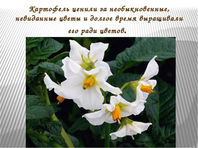 Картофель ценили за необыкновенные, невиданные цветы и долгое время выращивал...