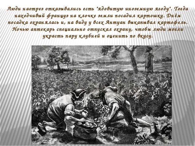 """Люди наотрез отказывались есть """"ядовитую иноземную ягоду"""". Тогда находчивый ф..."""