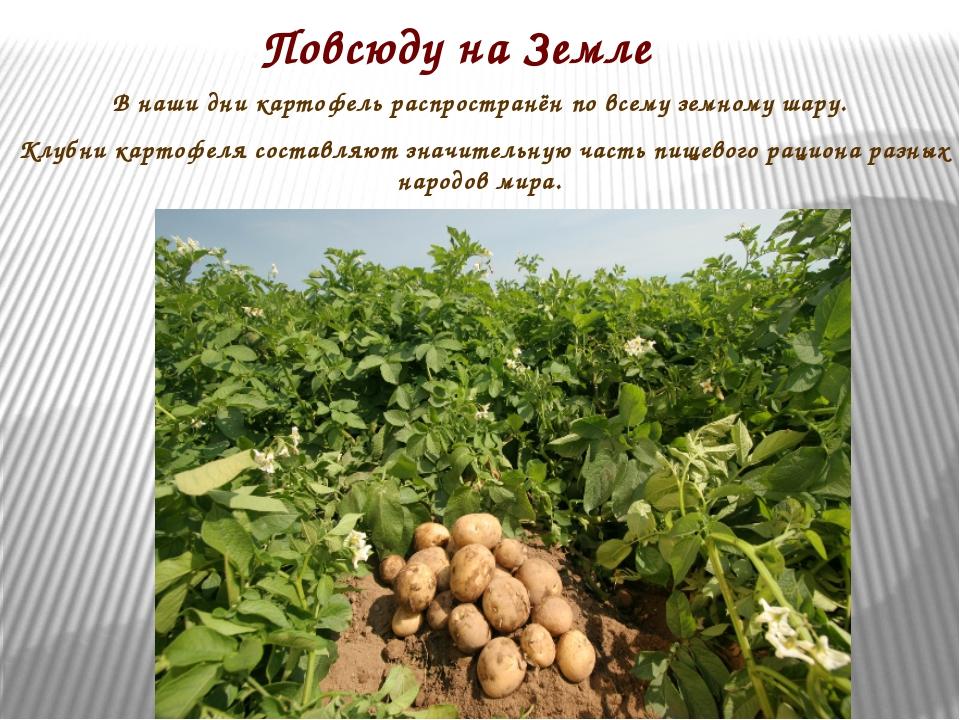 Повсюду на Земле В наши дни картофель распространён по всему земному шару. Кл...