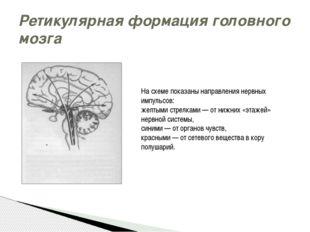 Ретикулярная формация головного мозга На схеме показаны направления нервных и