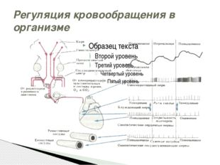 Регуляция кровообращения в организме