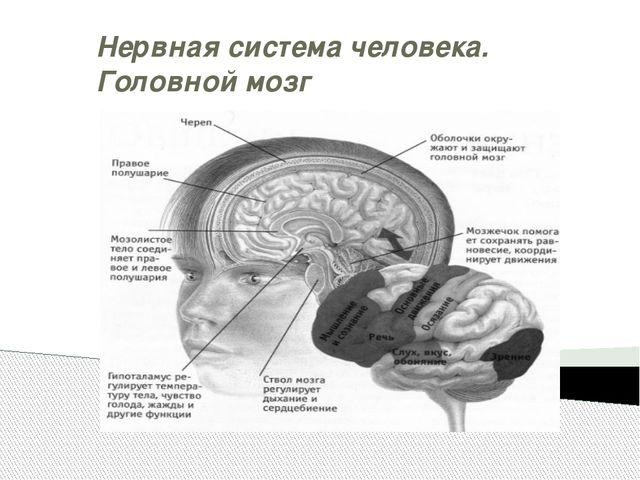 Нервная система человека. Головной мозг