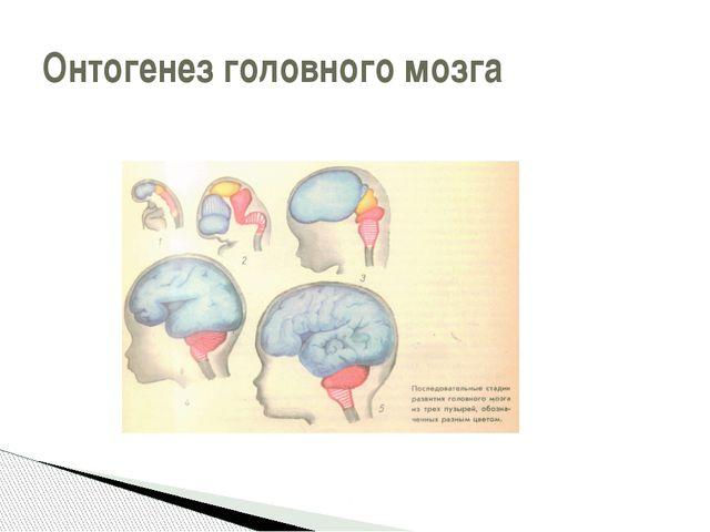 Онтогенез головного мозга