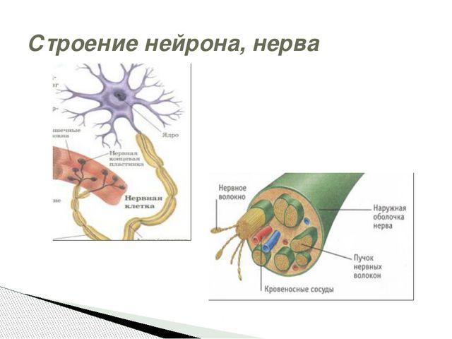 Строение нейрона, нерва