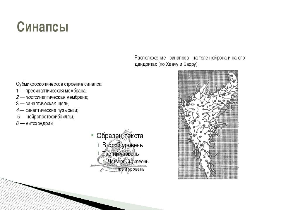 Синапсы Расположение синапсов на теле нейрона и на его дендритах (по Хаачу и...