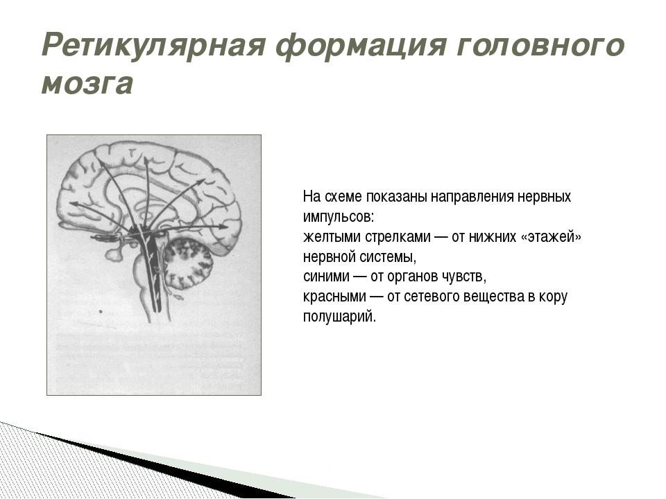 Ретикулярная формация головного мозга На схеме показаны направления нервных и...