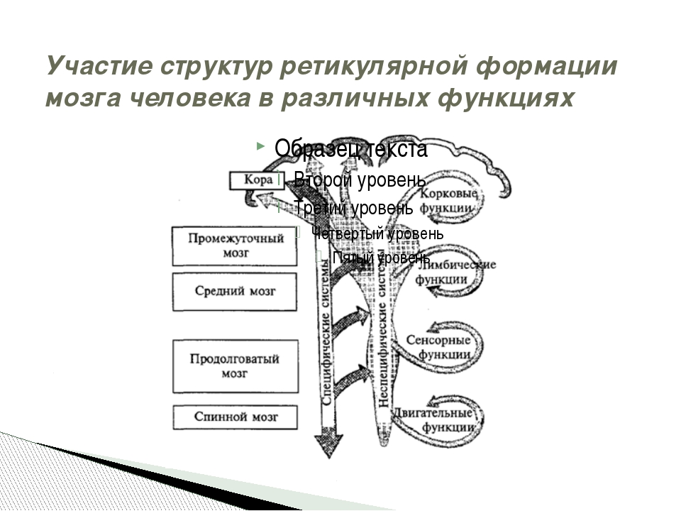 Участие структур ретикулярной формации мозга человека в различных функциях