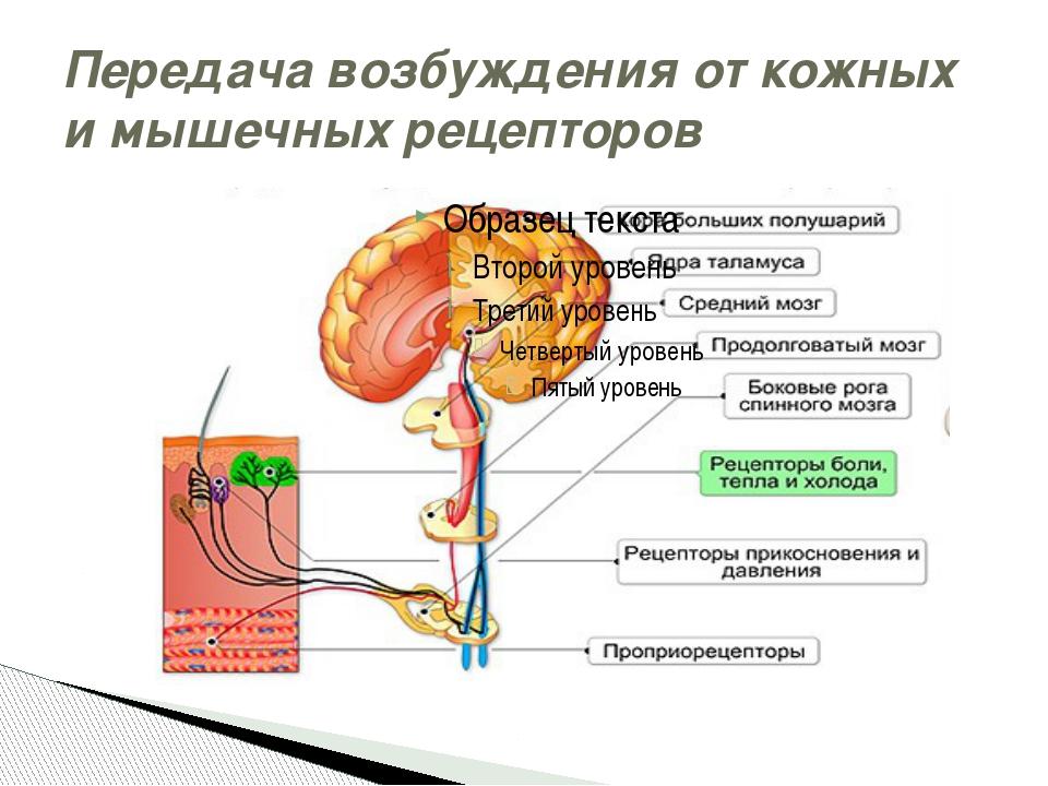 Передача возбуждения от кожных и мышечных рецепторов