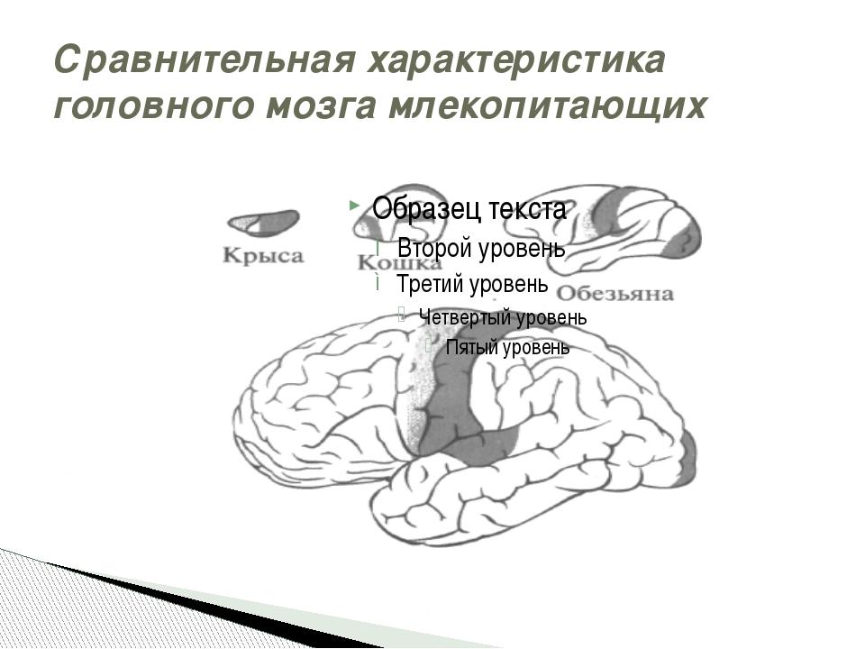 Сравнительная характеристика головного мозга млекопитающих