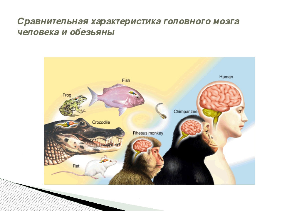 Сравнительная характеристика головного мозга человека и обезьяны