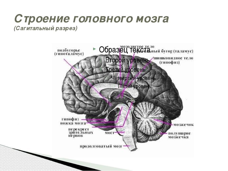Строение головного мозга (Сагитальный разрез)