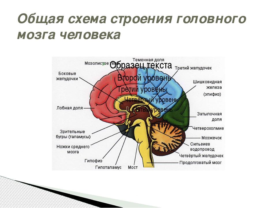 Общая схема строения головного мозга человека