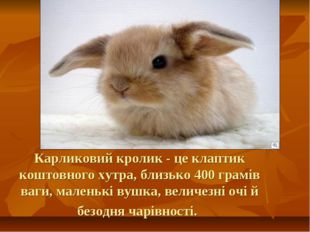 Карликовий кролик - це клаптик коштовного хутра, близько 400 грамів ваги, мал