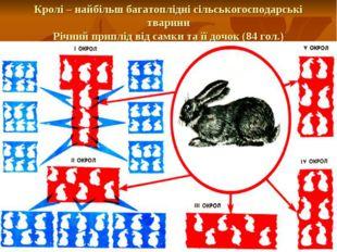 Кролі – найбільш багатоплідні сільськогосподарські тварини Річний приплід від