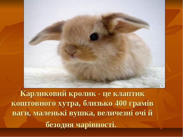 Карликовий кролик - це клаптик коштовного хутра, близько 400 грамів ваги, мал...