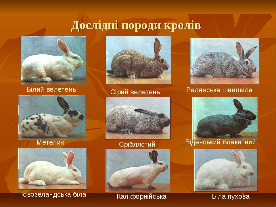 Дослідні породи кролів Білий велетень Сірий велетень Радянська шиншила Метели...