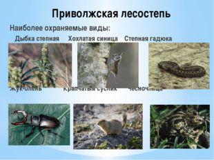 Приволжская лесостепь Наиболее охраняемые виды: Дыбка степная Хохлатая синиц