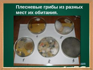 Плесневые грибы из разных мест их обитания. Подзаголовок