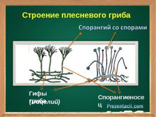 Строение плесневого гриба Подзаголовок Гифы гриба Спорангиеносец (мицелий)