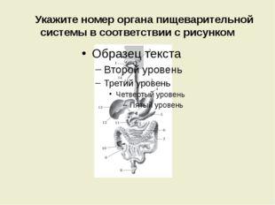 Укажите номер органа пищеварительной системы в соответствии с рисунком