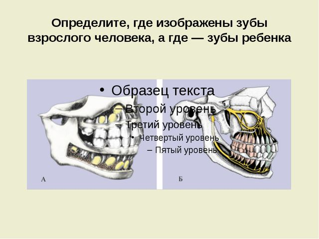 Определите, где изображены зубы взрослого человека, а где — зубы ребенка