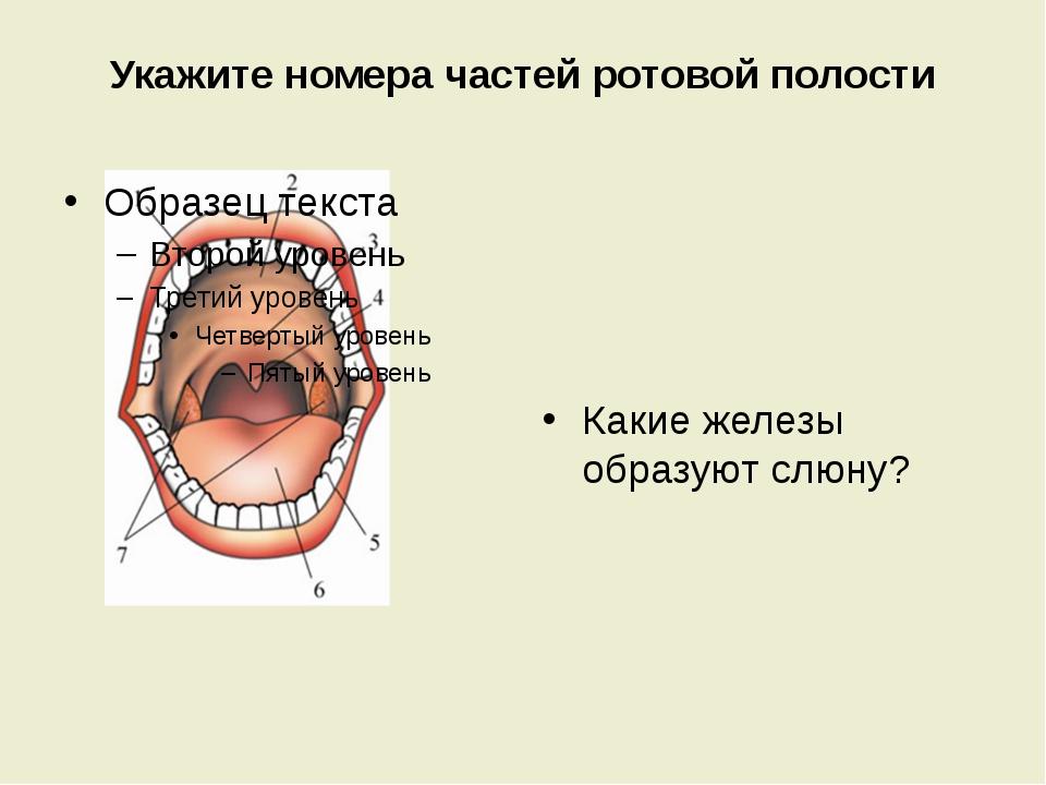 Укажите номера частей ротовой полости Какие железы образуют слюну?