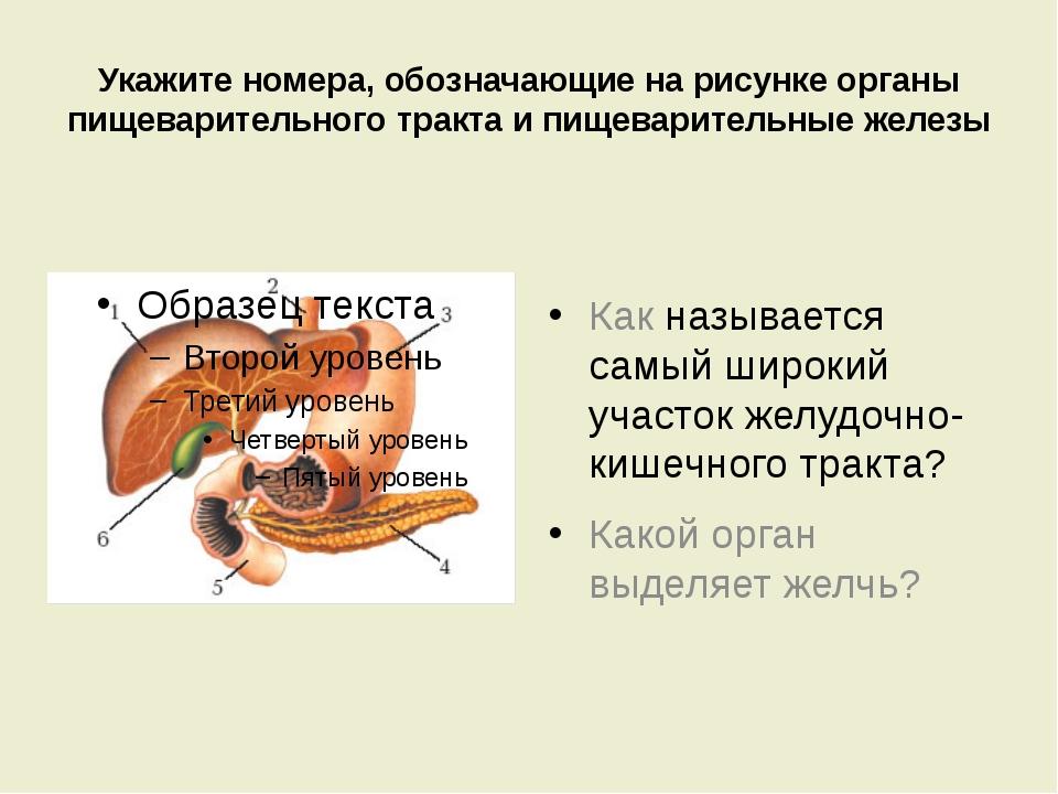 Укажите номера, обозначающие на рисунке органы пищеварительного тракта и пище...