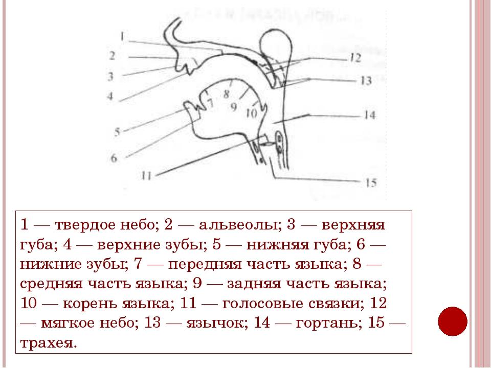 1 — твердое небо; 2 — альвеолы; 3 — верхняя губа; 4 — верхние зубы; 5 — нижня...