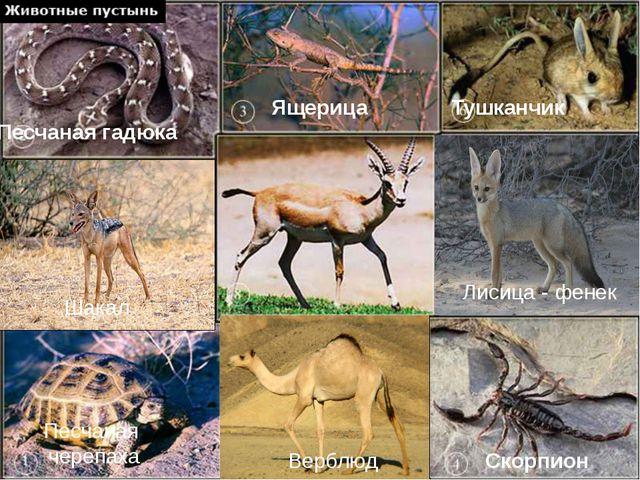 Верблюд-символ пустыни