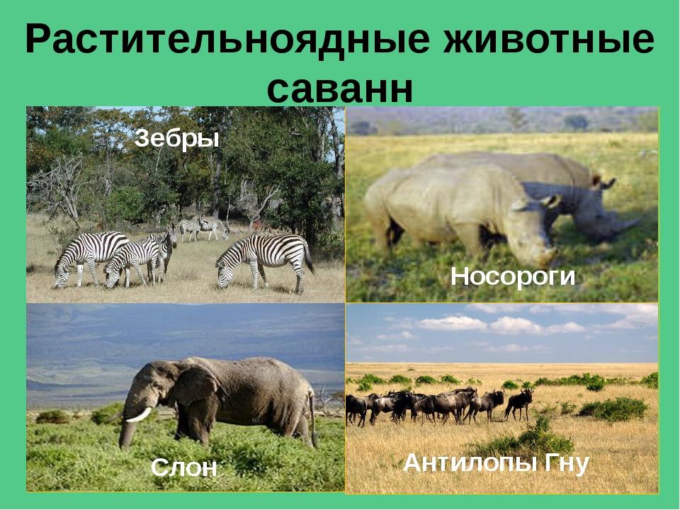 Главные хищники саванн Гепарды Львы