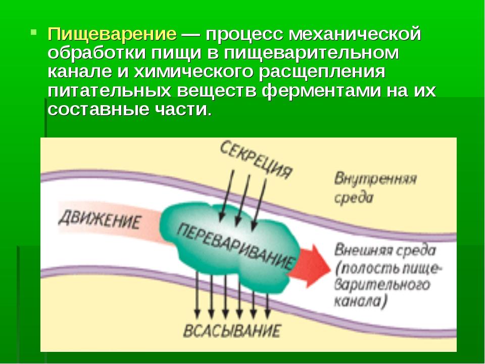 Пищеварение — процесс механической обработки пищи в пищеварительном канале и...