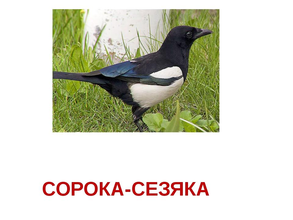 СОРОКА-СЕЗЯКА