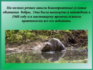 На мелких речках нашли благоприятные условия обитания бобры. Они были выпуще