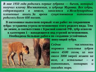 В мае 1950 года родились первые зубрята — бычок, который получил кличку Москв