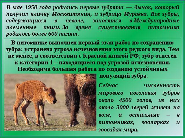 В мае 1950 года родились первые зубрята — бычок, который получил кличку Москв...