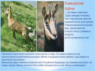 Кавказские серны – пугливые животные. Едва завидев человека, они с протяжным