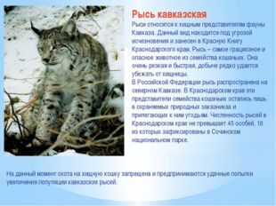Рысь кавказская Рыси относятся к хищным представителям фауны Кавказа. Данный
