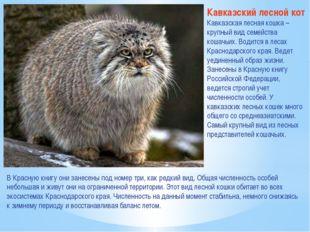 Кавказский лесной кот Кавказская лесная кошка – крупный вид семейства кошачьи
