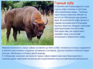 Горный зубр В Красной книге Краснодарского края горные зубры отнесены к катег