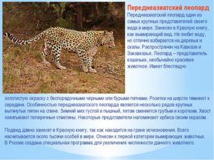 Переднеазиатский леопард Переднеазиатский леопард один из самых крупных предс