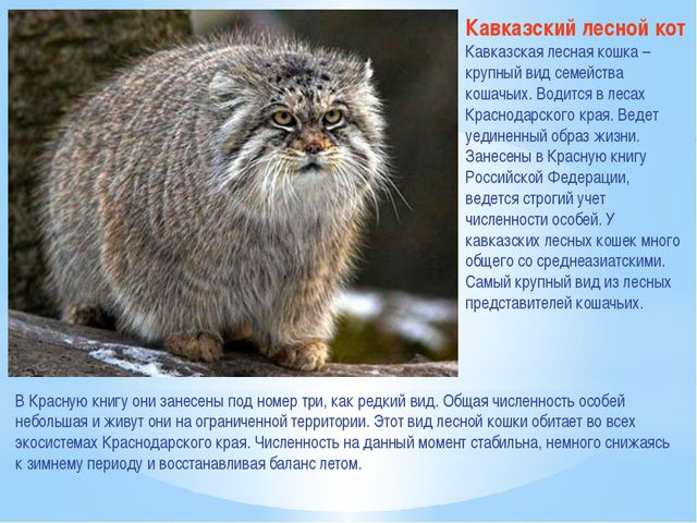 Кавказский лесной кот Кавказская лесная кошка – крупный вид семейства кошачьи...