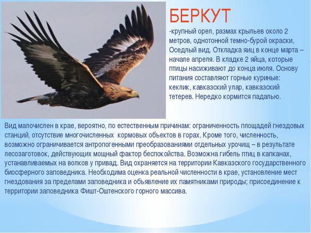 БЕРКУТ -крупный орел, размах крыльев около 2 метров, однотонной темно-бурой о...