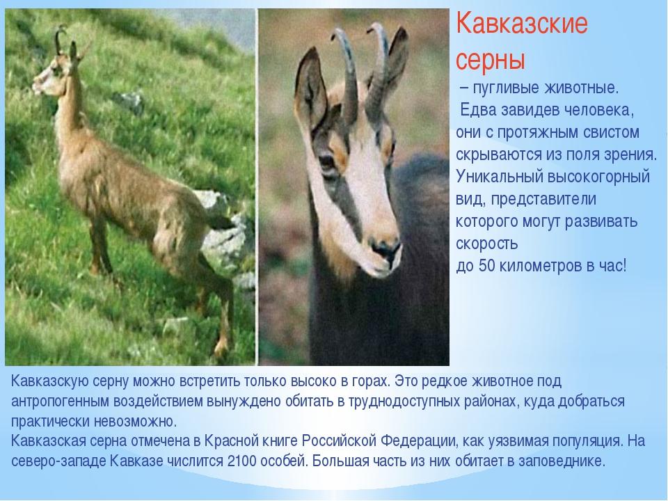 Кавказские серны – пугливые животные. Едва завидев человека, они с протяжным...