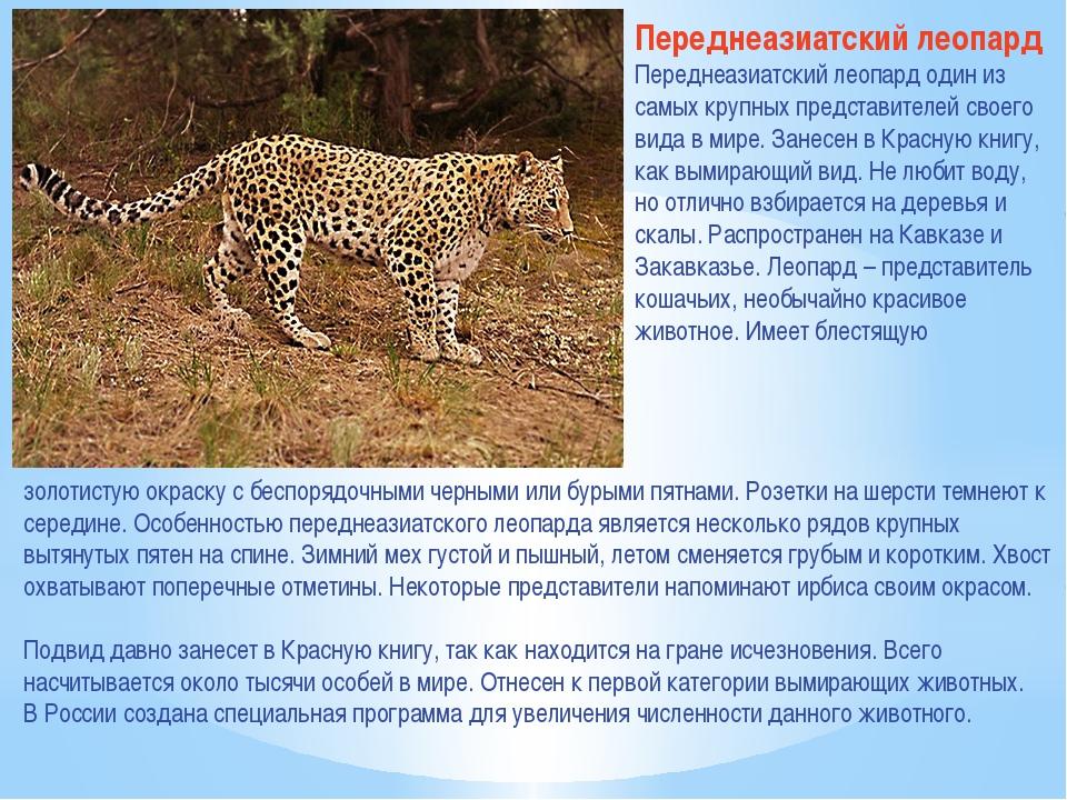 Переднеазиатский леопард Переднеазиатский леопард один из самых крупных предс...