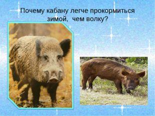 Почему кабану легче прокормиться зимой, чем волку?