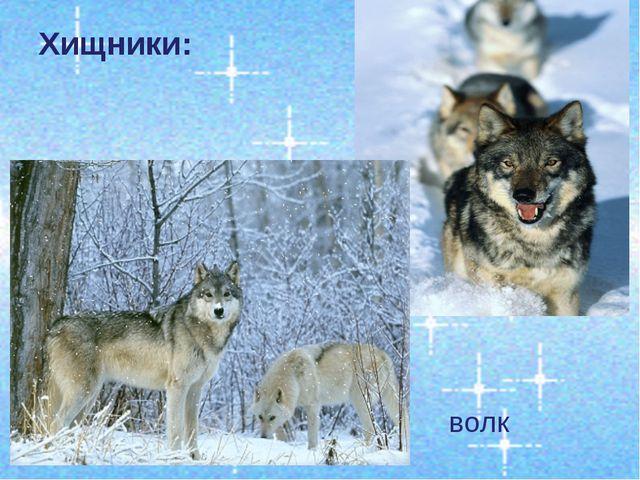 Хищники: волк