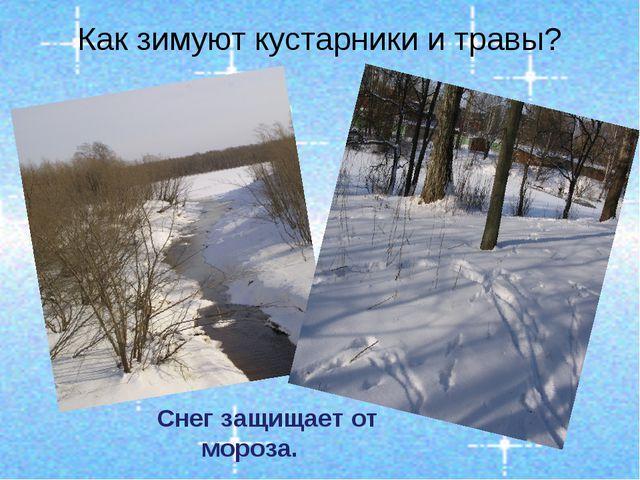 Как зимуют кустарники и травы? Снег защищает от мороза.