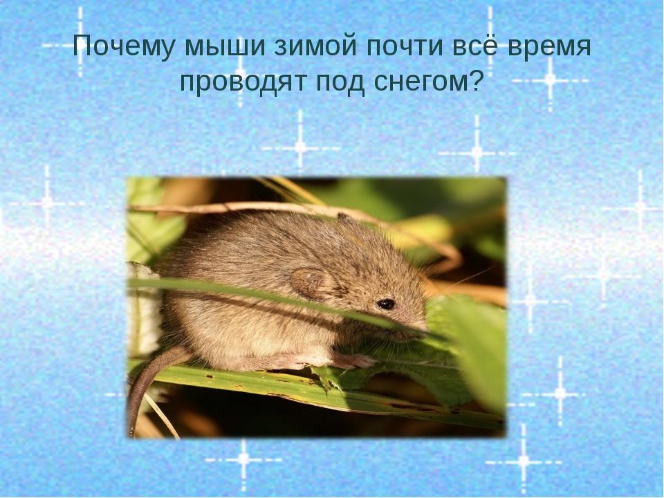 Почему мыши зимой почти всё время проводят под снегом?