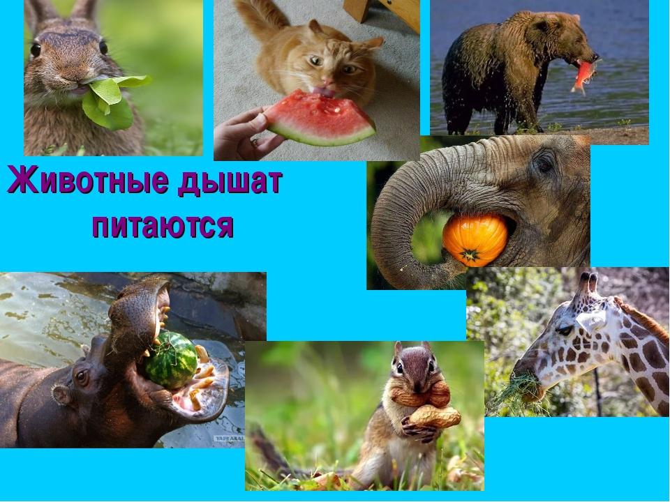 Животные дышат питаются