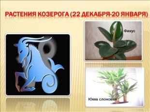Юкка слоновая Фикус Детский исследовательский проект